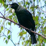 Tui In Song