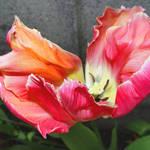 Tulip - Flaming petals