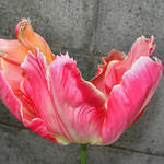 Tulip - Flames against Wall