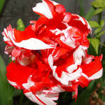 Tulip  red & white beauty