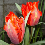 tulips red (Parrot tulips)