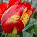 Tulip variegated charm