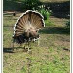 Turkey fanfare
