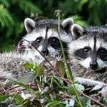 Twin Raccoon Babies ontop of Holly tree