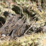 Two Baby Dove