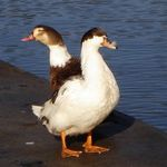 Two headed duck?
