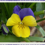 Universal Pansy