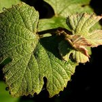 Grape Leaves and Dew Drops