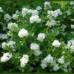 Multiflora Rose Bush