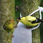 Golden Finch Family Discussion