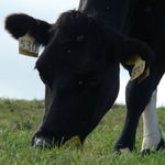 Dairy Cow 1