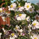 Flower - Anemone(Japonica).