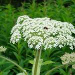 Bee on wild plant ..poisonous?
