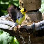 Unusual Goldfinch Image