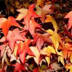 varied maple leaves
