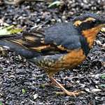 Varied Thrush in the Rain