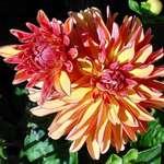 vivid beauty/dahlias