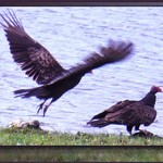 Turkey Vulture Pair