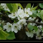 Wasp in blossom