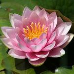 Water Lily Season Again