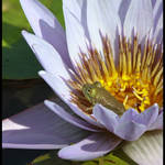 Water Lily with Visitor