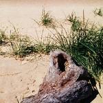 Saugatuck Driftwood