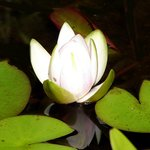 Waterlily bud