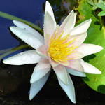Waterlily in our lilypond