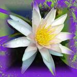 Waterlily altered