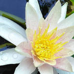 Waterlily in our pond