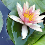 Waterlily pink