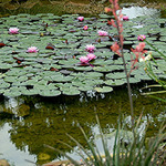 Waterlily Pond View