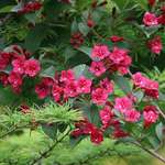 Weigela Flowers & Larch Boughs