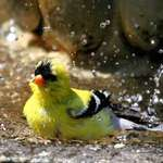 Pure Enjoyment - Goldfinch Bathing
