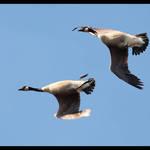 Whiffling Goose