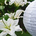 White Lily and Lantern
