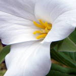 White Trillium