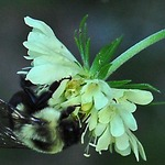 White Scabiosa With Bee