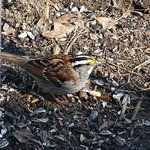 White- Throated Sparrow
