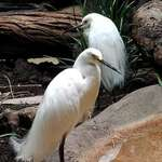 Snowy Egret