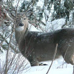 Whitetail close by