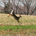 Whitetail Deer Leaping
