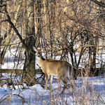 February Whitetail Doe