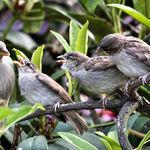 Who's Next?  Feeding baby sparrows