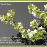 Wild Apple Blossom