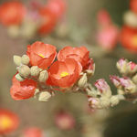 Wild Desert Globemallow