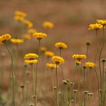 Wild Desert Marigolds