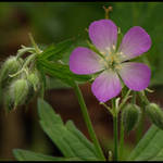Wild Geranium with Buds