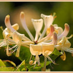 Wild Honeysuckle