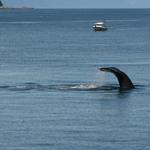 Wild Humpback Whale